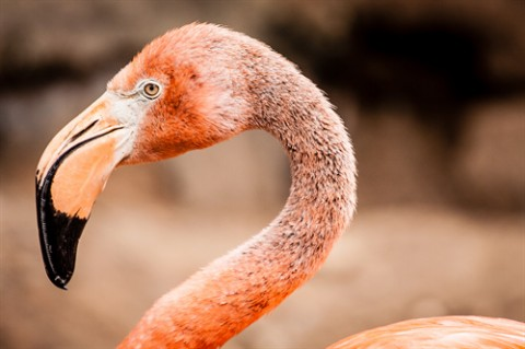 Spare a thought for the Flamingos: Lithium mining destroying habitats.
